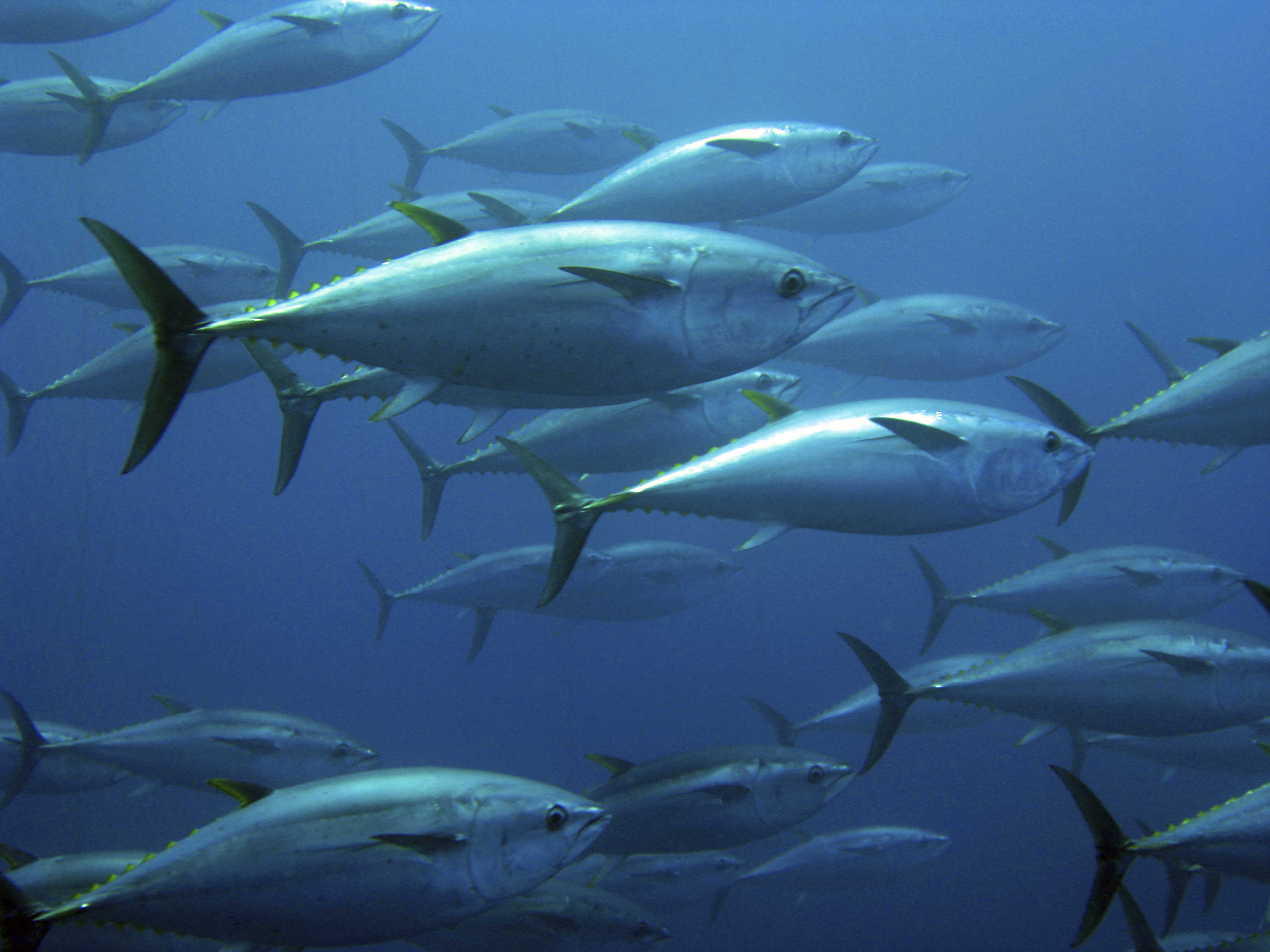How Bluefin Tuna became a top cargo in air freight.